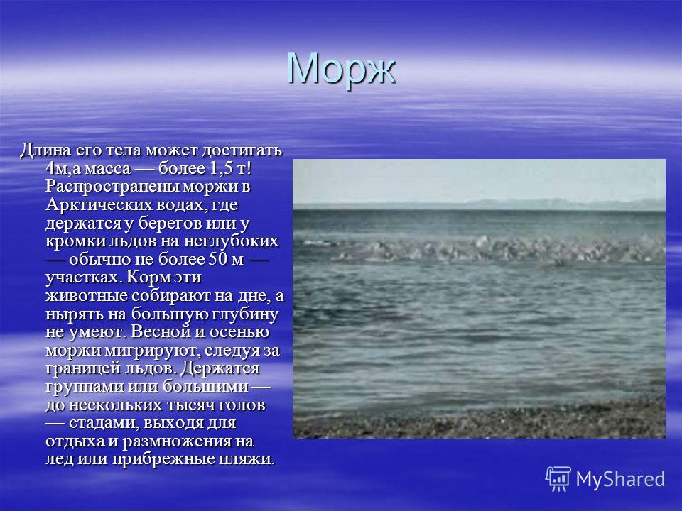 Морж Длина его тела может достигать 4м,а масса более 1,5 т! Распространены моржи в Арктических водах, где держатся у берегов или у кромки льдов на неглубоких обычно не более 50 м участках. Корм эти животные собирают на дне, а нырять на большую глубин