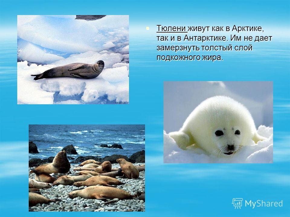 Тюлени живут как в Арктике, так и в Антарктике. Им не дает замерзнуть толстый слой подкожного жира. Тюлени живут как в Арктике, так и в Антарктике. Им не дает замерзнуть толстый слой подкожного жира.