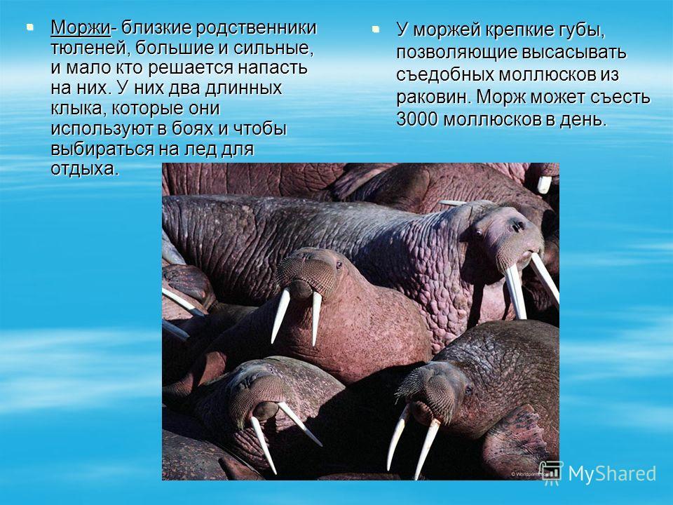Моржи- близкие родственники тюленей, большие и сильные, и мало кто решается напасть на них. У них два длинных клыка, которые они используют в боях и чтобы выбираться на лед для отдыха. Моржи- близкие родственники тюленей, большие и сильные, и мало кт