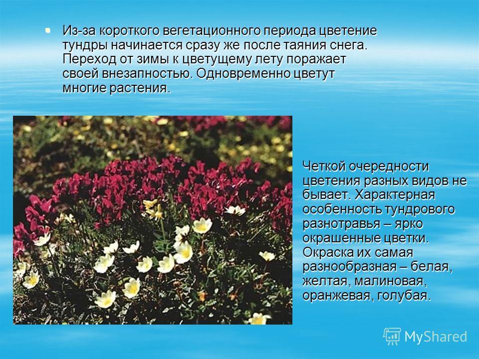 Из-за короткого вегетационного периода цветение тундры начинается сразу же после таяния снега. Переход от зимы к цветущему лету поражает своей внезапностью. Одновременно цветут многие растения. Из-за короткого вегетационного периода цветение тундры н