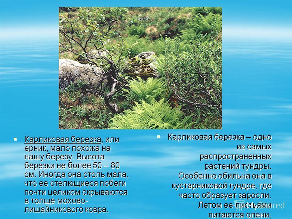 Карликовая березка, или ерник, мало похожа на нашу березу. Высота березки не более 50 – 80 см. Иногда она столь мала, что ее стелющиеся побеги почти целиком скрываются в толще мохово- лишайникового ковра. Карликовая березка, или ерник, мало похожа на