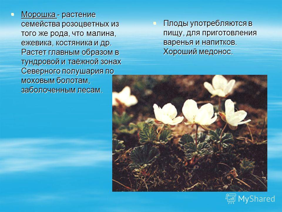 Морошка - растение семейства розоцветных из того же рода, что малина, ежевика, костяника и др. Растет главным образом в тундровой и таёжной зонах Северного полушария по моховым болотам, заболоченным лесам. Морошка - растение семейства розоцветных из