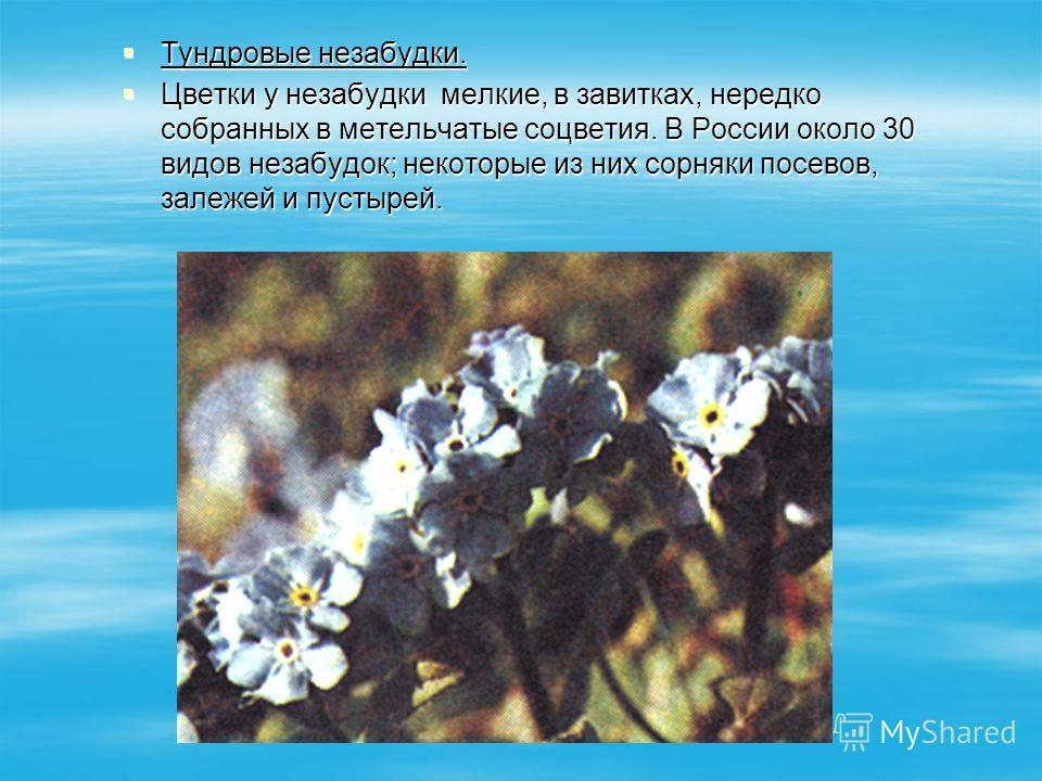 Тундровые незабудки. Тундровые незабудки. Цветки у незабудки мелкие, в завитках, нередко собранных в метельчатые соцветия. В России около 30 видов незабудок; некоторые из них сорняки посевов, залежей и пустырей. Цветки у незабудки мелкие, в завитках,