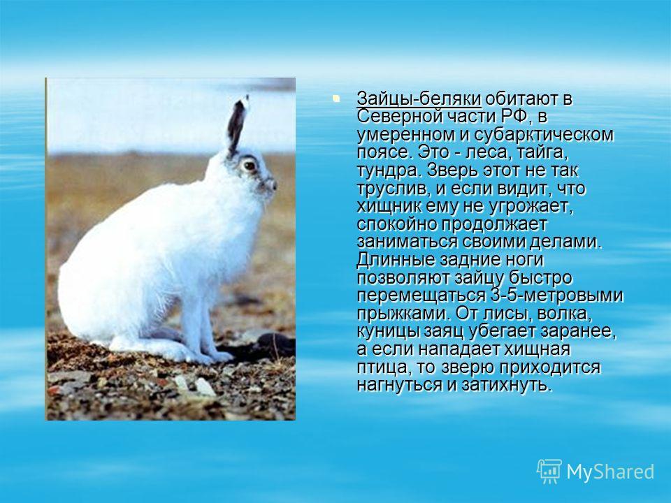 Зайцы-беляки обитают в Северной части РФ, в умеренном и субарктическом поясе. Это - леса, тайга, тундра. Зверь этот не так труслив, и если видит, что хищник ему не угрожает, спокойно продолжает заниматься своими делами. Длинные задние ноги позволяют