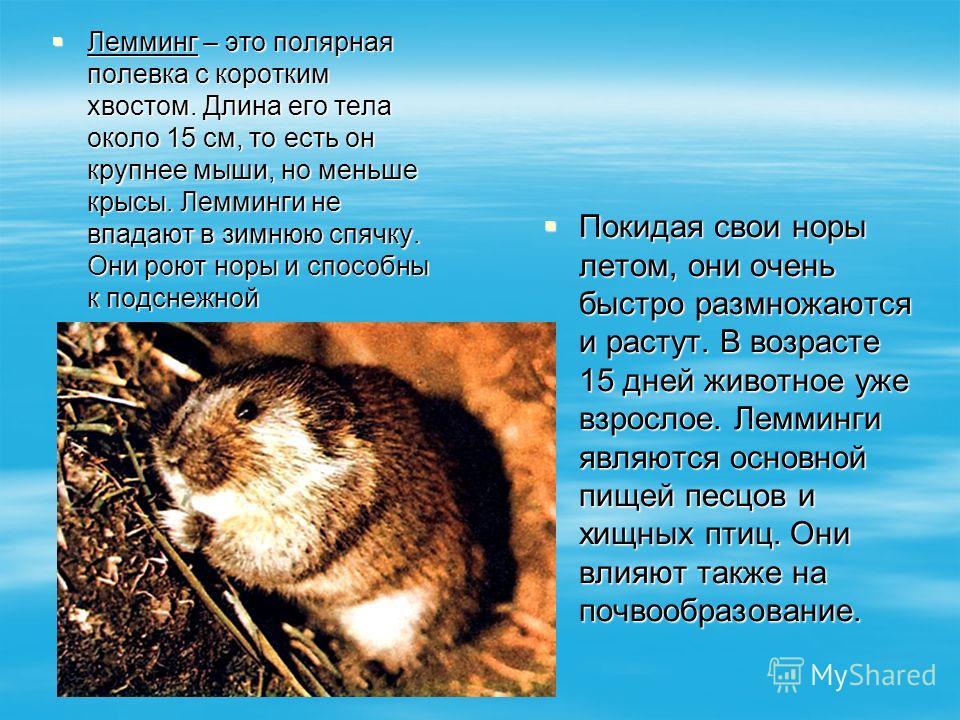 Лемминг – это полярная полевка с коротким хвостом. Длина его тела около 15 см, то есть он крупнее мыши, но меньше крысы. Лемминги не впадают в зимнюю спячку. Они роют норы и способны к подснежной жизнедеятельности. Лемминг – это полярная полевка с ко