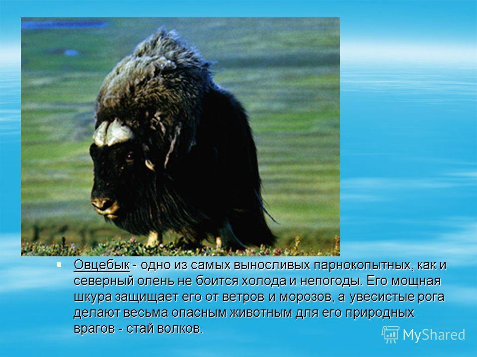 Овцебык - одно из самых выносливых парнокопытных, как и северный олень не боится холода и непогоды. Его мощная шкура защищает его от ветров и морозов, а увесистые рога делают весьма опасным животным для его природных врагов - стай волков. Овцебык - о