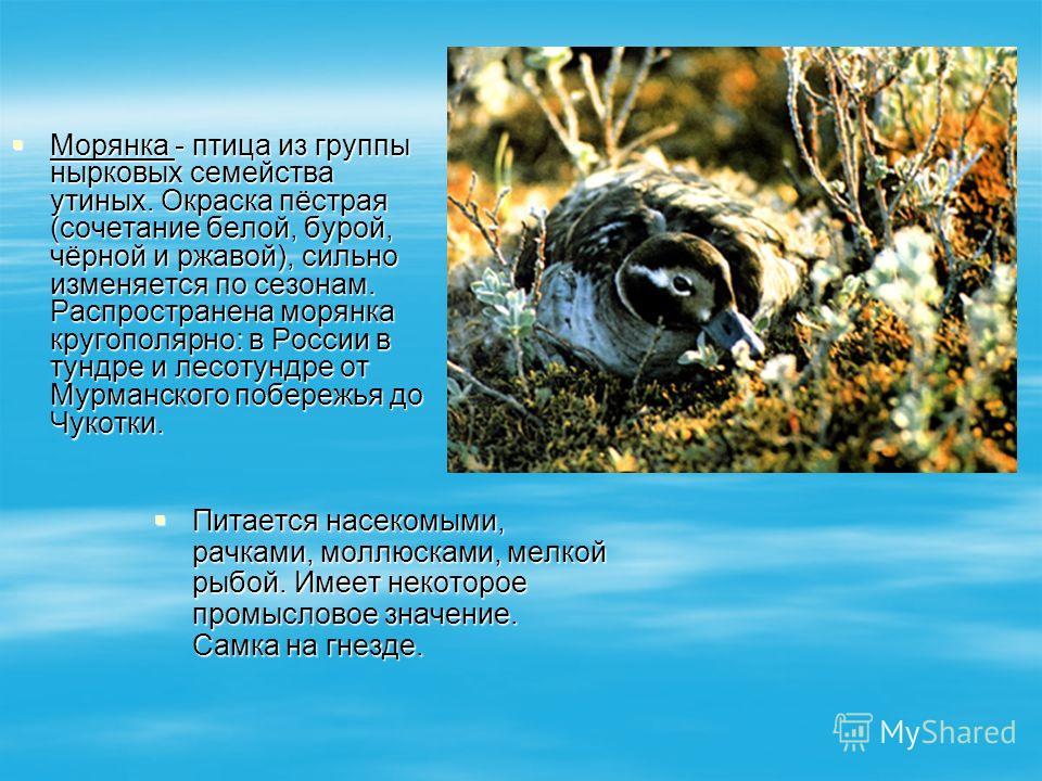 Морянка - птица из группы нырковых семейства утиных. Окраска пёстрая (сочетание белой, бурой, чёрной и ржавой), сильно изменяется по сезонам. Распространена морянка кругополярно: в России в тундре и лесотундре от Мурманского побережья до Чукотки. Мор