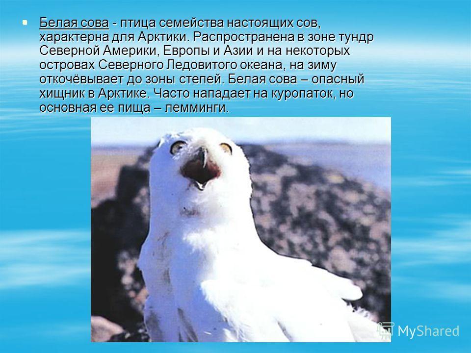 Белая сова - птица семейства настоящих сов, характерна для Арктики. Распространена в зоне тундр Северной Америки, Европы и Азии и на некоторых островах Северного Ледовитого океана, на зиму откочёвывает до зоны степей. Белая сова – опасный хищник в Ар