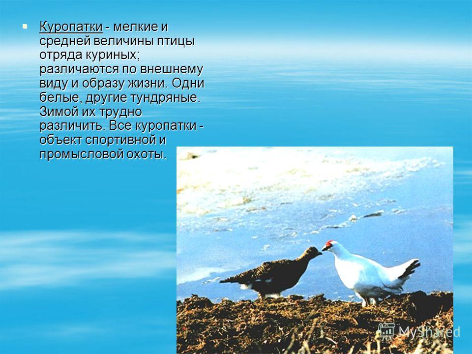 Куропатки - мелкие и средней величины птицы отряда куриных; различаются по внешнему виду и образу жизни. Одни белые, другие тундряные. Зимой их трудно различить. Все куропатки - объект спортивной и промысловой охоты. Куропатки - мелкие и средней вели