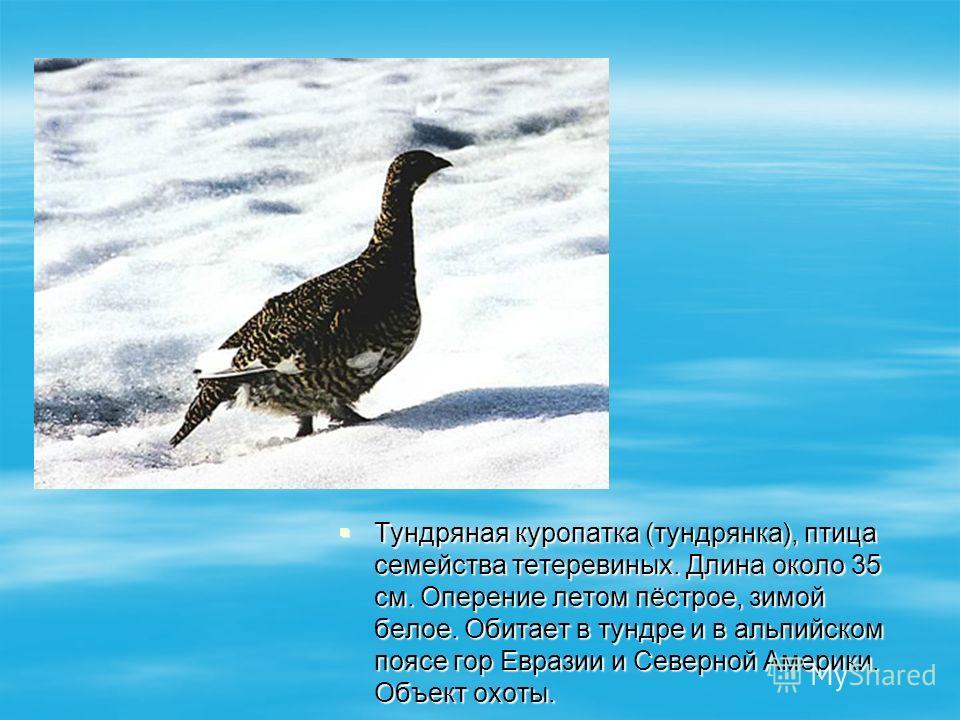 Тундряная куропатка (тундрянка), птица семейства тетеревиных. Длина около 35 см. Оперение летом пёстрое, зимой белое. Обитает в тундре и в альпийском поясе гор Евразии и Северной Америки. Объект охоты. Тундряная куропатка (тундрянка), птица семейства