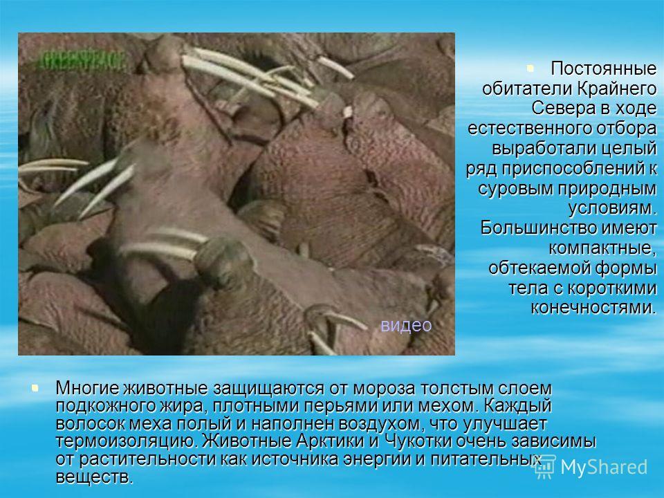 Постоянные обитатели Крайнего Севера в ходе естественного отбора выработали целый ряд приспособлений к суровым природным условиям. Большинство имеют компактные, обтекаемой формы тела с короткими конечностями. Постоянные обитатели Крайнего Севера в хо
