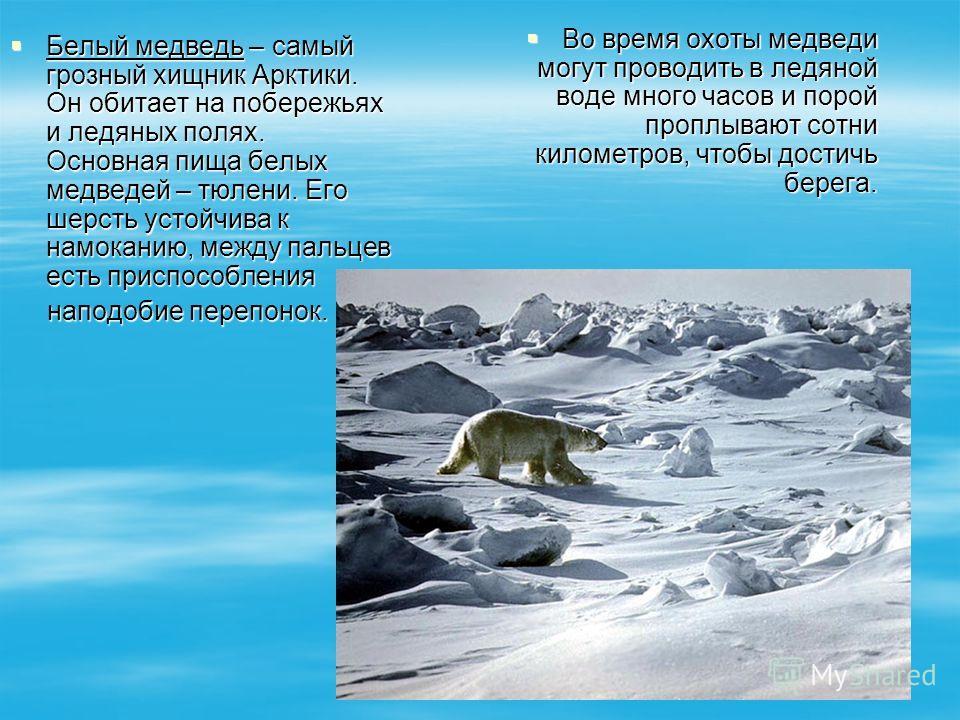 Белый медведь – самый грозный хищник Арктики. Он обитает на побережьях и ледяных полях. Основная пища белых медведей – тюлени. Его шерсть устойчива к намоканию, между пальцев есть приспособления Белый медведь – самый грозный хищник Арктики. Он обитае