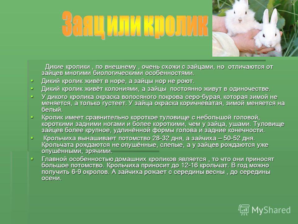 Дикие кролики, по внешнему, очень схожи с зайцами, но отличаются от зайцев многими биологическими особенностями. Дикие кролики, по внешнему, очень схожи с зайцами, но отличаются от зайцев многими биологическими особенностями. Дикий кролик живёт в нор