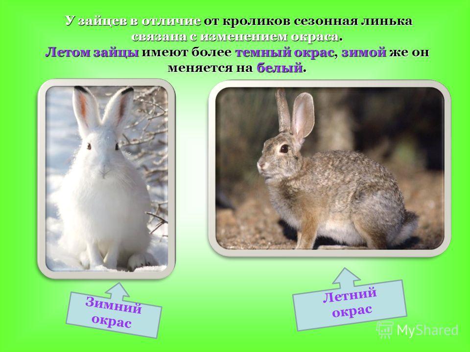 У зайцев в отличие от кроликов сезонная линька связана с изменением окраса. У зайцев в отличие от кроликов сезонная линька связана с изменением окраса. Летом зайцы имеют более темный окрас, зимой же он меняется на белый. З и м н и й о к р а с Л е т н