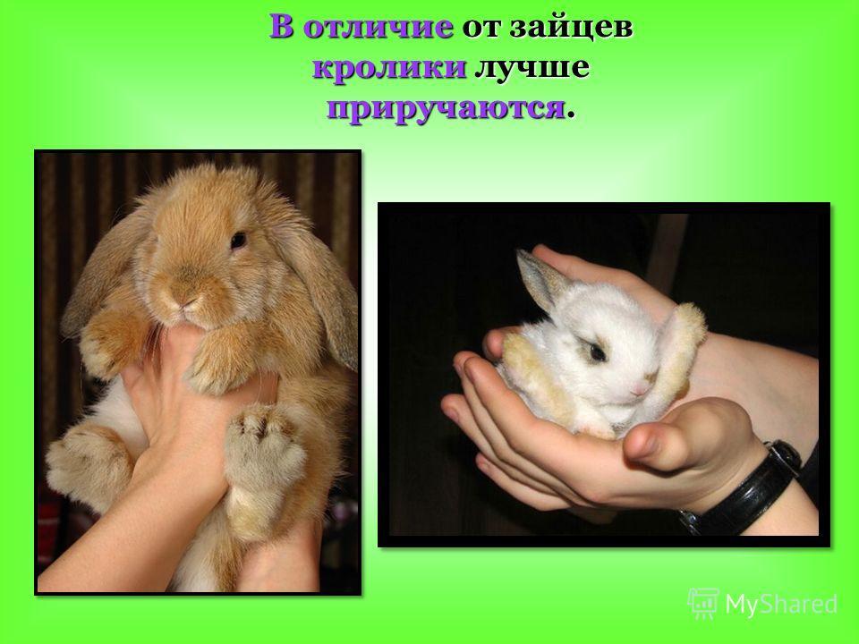 В отличие от зайцев кролики лучше приручаются.