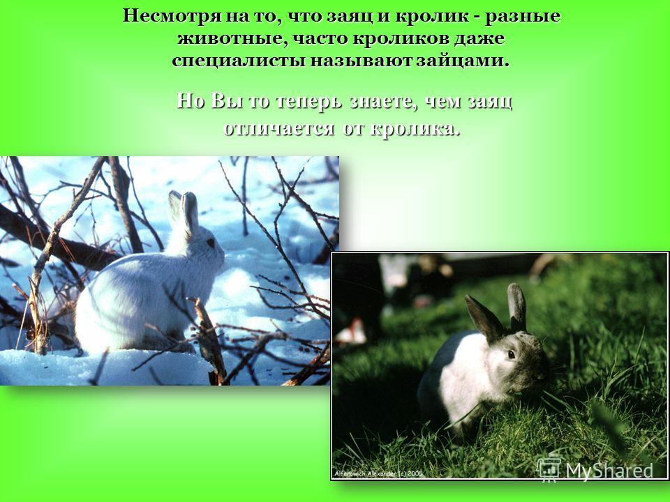 Несмотря на то, что заяц и кролик - разные животные, часто кроликов даже специалисты называют зайцами. Но Вы то теперь знаете, чем заяц отличается от кролика. Но Вы то теперь знаете, чем заяц отличается от кролика.