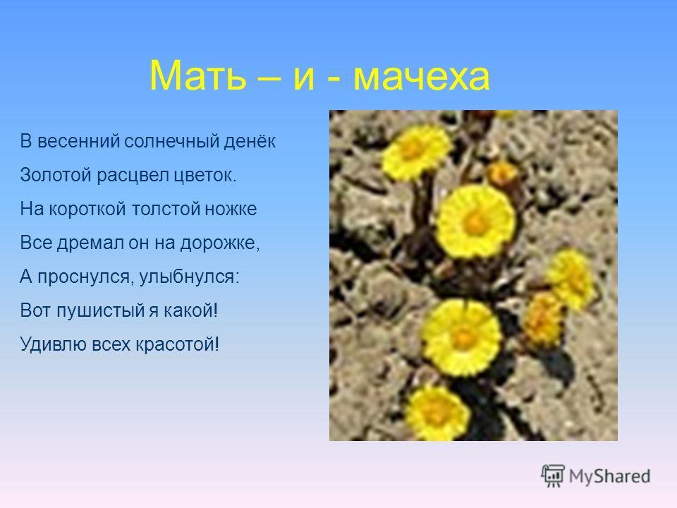 В весенний солнечный денёк Золотой расцвел цветок. На короткой толстой ножке Все дремал он на дорожке, А проснулся, улыбнулся: Вот пушистый я какой! Удивлю всех красотой! Мать – и - мачеха