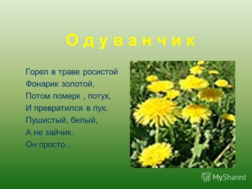О д у в а н ч и к Горел в траве росистой Фонарик золотой, Потом померк, потух, И превратился в пух. Пушистый, белый, А не зайчик. Он просто…