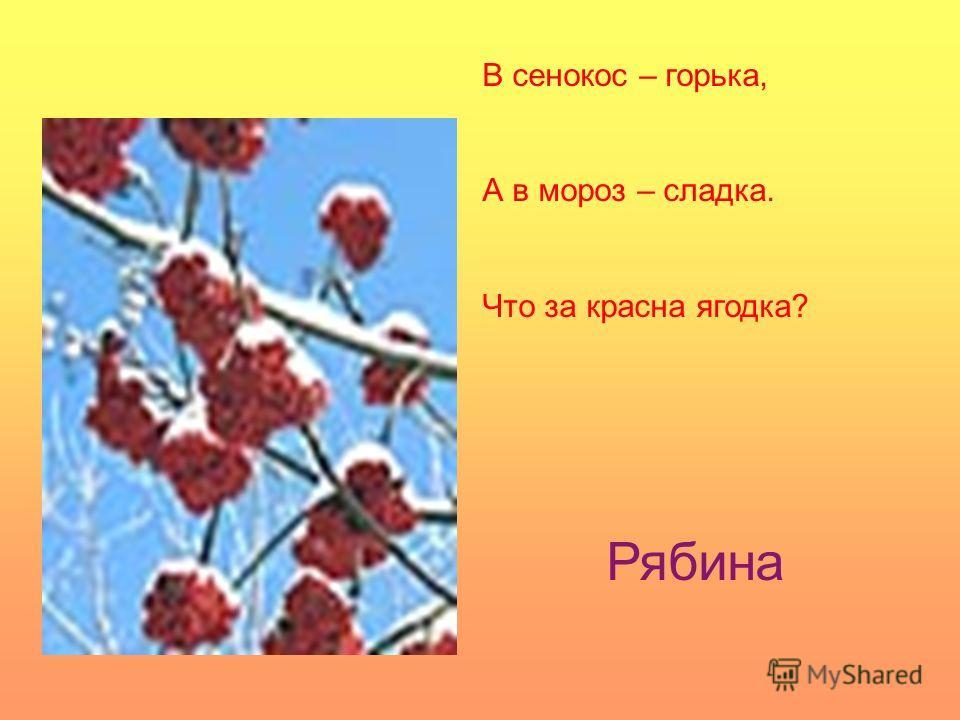 В сенокос – горька, А в мороз – сладка. Что за красна ягодка? Рябина
