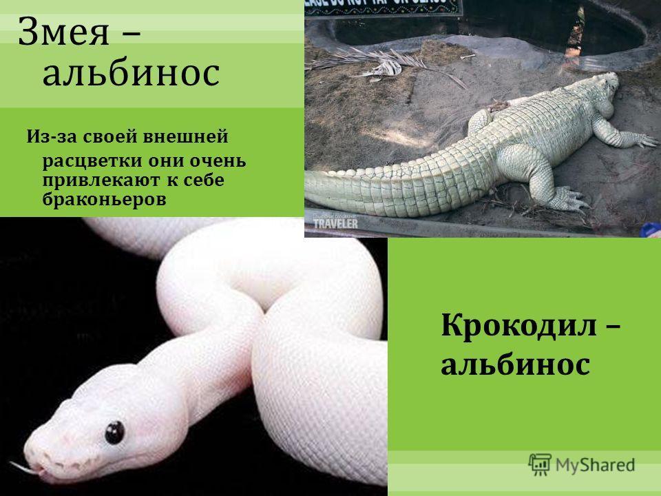 Рыба - альбинос