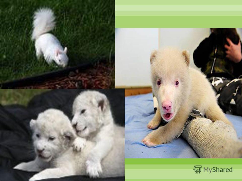 Поэтому тигры альбиносы часто попадают в зоопарки и находятся под охраной, как редкие звери в природе