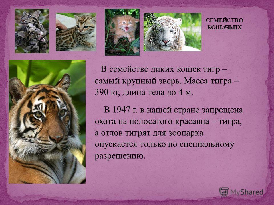 В семействе диких кошек тигр – самый крупный зверь. Масса тигра – 390 кг, длина тела до 4 м. В 1947 г. в нашей стране запрещена охота на полосатого красавца – тигра, а отлов тигрят для зоопарка опускается только по специальному разрешению.
