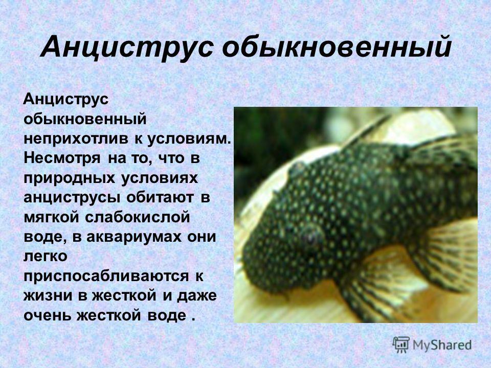 Анциструс обыкновенный Анциструс обыкновенный неприхотлив к условиям. Несмотря на то, что в природных условиях анциструсы обитают в мягкой слабокислой воде, в аквариумах они легко приспосабливаются к жизни в жесткой и даже очень жесткой воде.