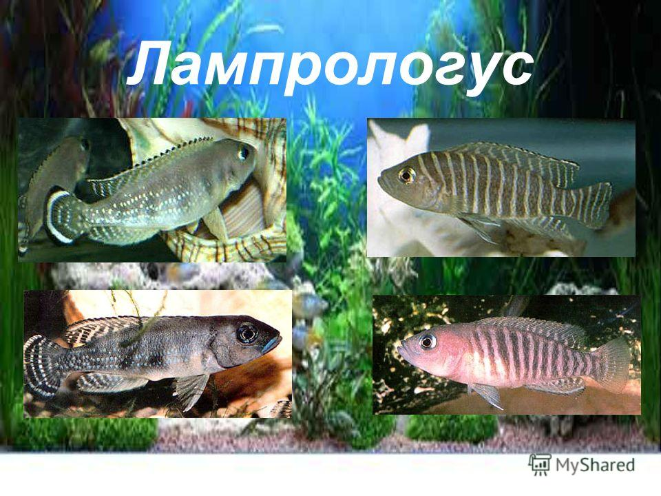 Лампрологус