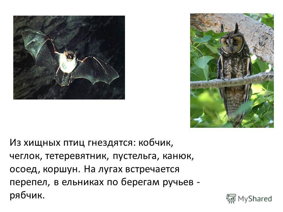 Из хищных птиц гнездятся: кобчик, чеглок, тетеревятник, пустельга, канюк, осоед, коршун. На лугах встречается перепел, в ельниках по берегам ручьев - рябчик.