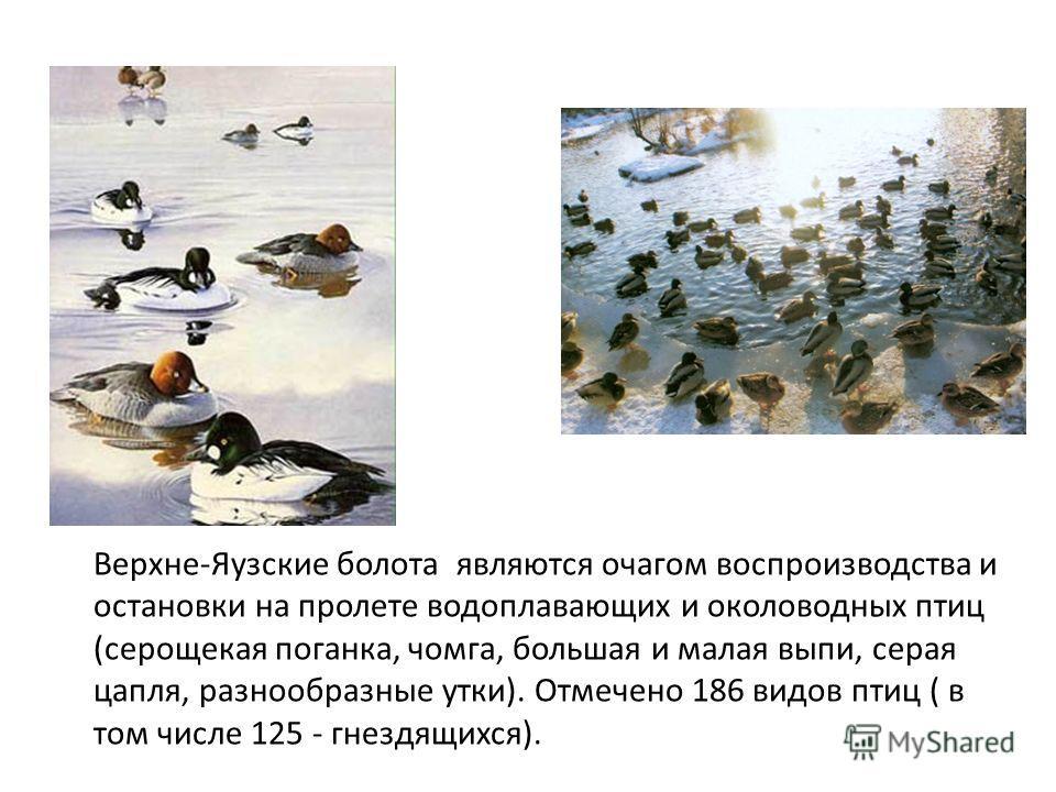 Верхне-Яузские болота являются очагом воспроизводства и остановки на пролете водоплавающих и околоводных птиц (серощекая поганка, чомга, большая и малая выпи, серая цапля, разнообразные утки). Отмечено 186 видов птиц ( в том числе 125 - гнездящихся).