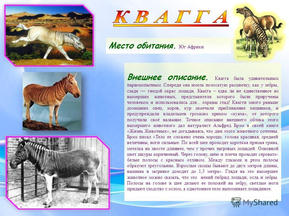 Место обитания. Юг Африки Внешнее описание. Квагга была удивительным парнокопытным. Спереди она имела полосатую расцветку, как у зебры, сзади гнедой окрас лошади. Квагга – едва ли не единственное из вымерших животных, представители которого были прир