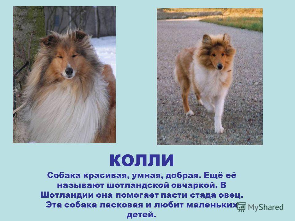 ЧАУ-ЧАУ Крупная декоративная собака, похожая на льва. У неё чёрный язык. Эта собака не имеет собачьего запаха.