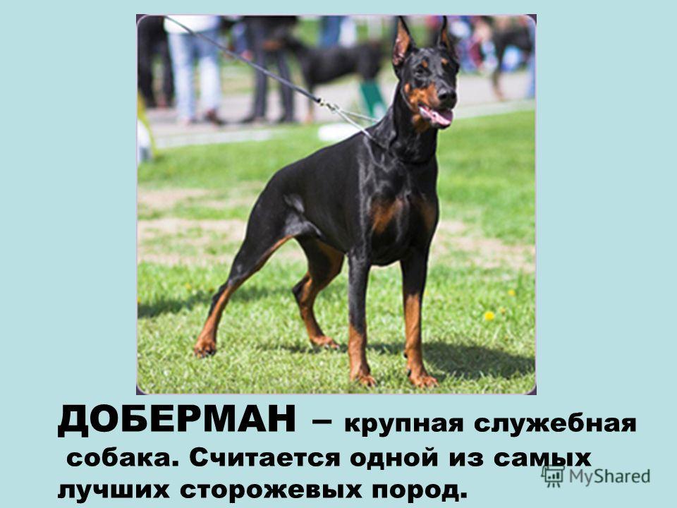 БОКСЁР – крупная служебная собака. Атлетическое сложение не мешает боксёру быть ласковым и весёлым.