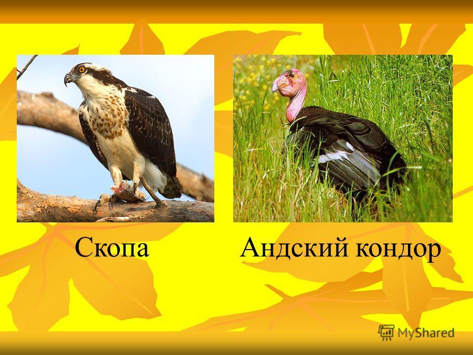 СкопаАндский кондор