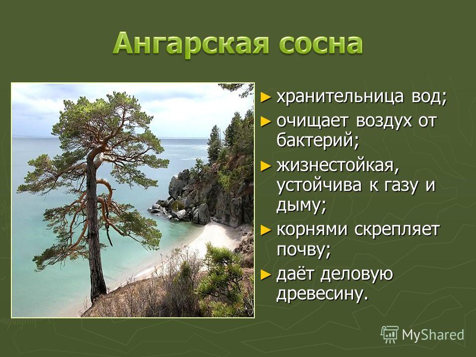 хранительница вод; очищает воздух от бактерий; жизнестойкая, устойчива к газу и дыму; корнями скрепляет почву; даёт деловую древесину.