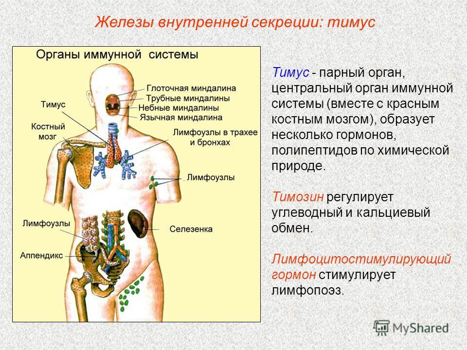 Тимус - парный орган, центральный орган иммунной системы (вместе с красным костным мозгом), образует несколько гормонов, полипептидов по химической природе. Тимозин регулирует углеводный и кальциевый обмен. Лимфоцитостимулирующий гормон стимулирует л