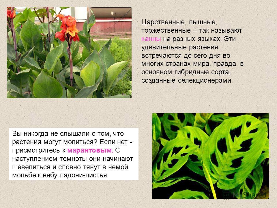 Царственные, пышные, торжественные – так называют канны на разных языках. Эти удивительные растения встречаются до сего дня во многих странах мира, правда, в основном гибридные сорта, созданные селекционерами. Вы никогда не слышали о том, что растени