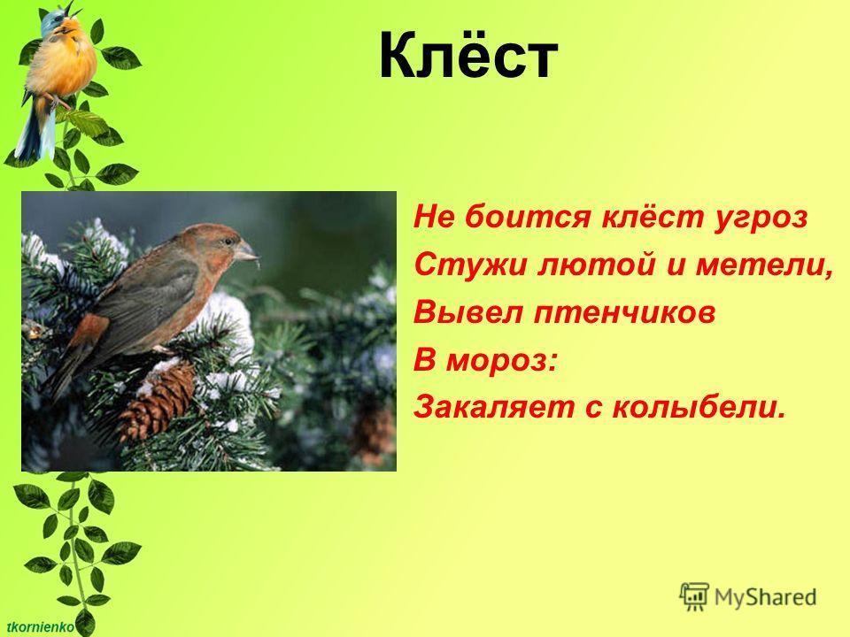 Клёст Не боится клёст угроз Стужи лютой и метели, Вывел птенчиков В мороз: Закаляет с колыбели.