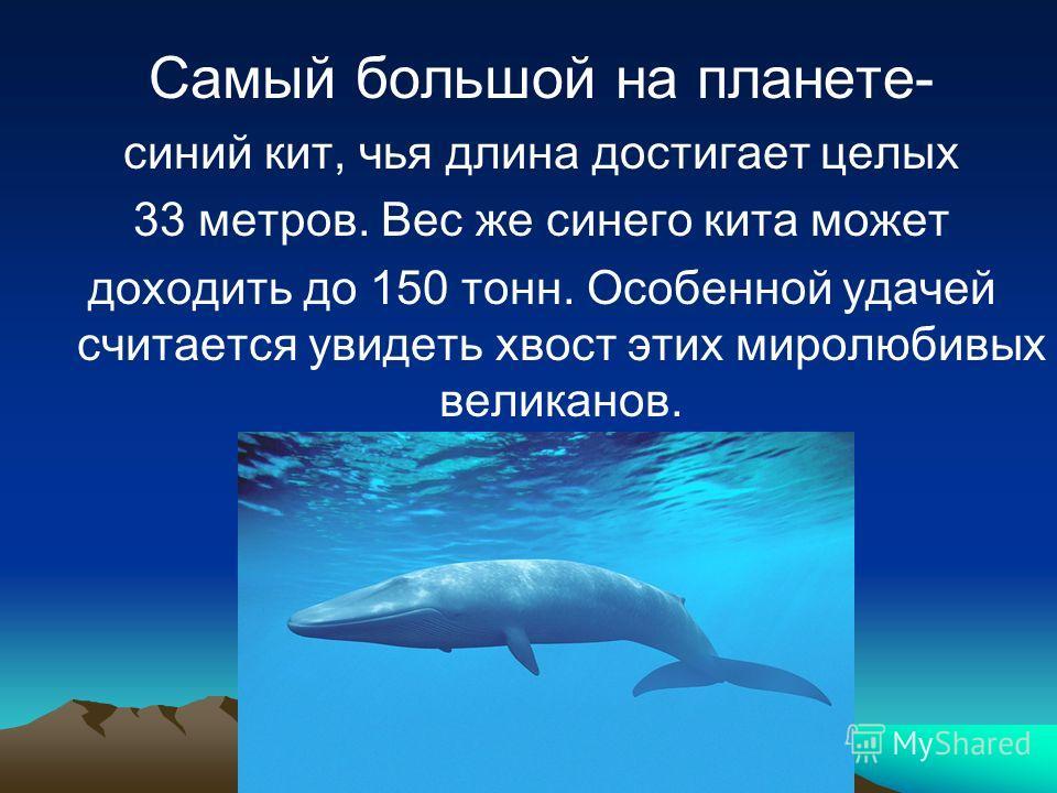 Самый большой на планете- синий кит, чья длина достигает целых 33 метров. Вес же синего кита может доходить до 150 тонн. Особенной удачей считается увидеть хвост этих миролюбивых великанов.
