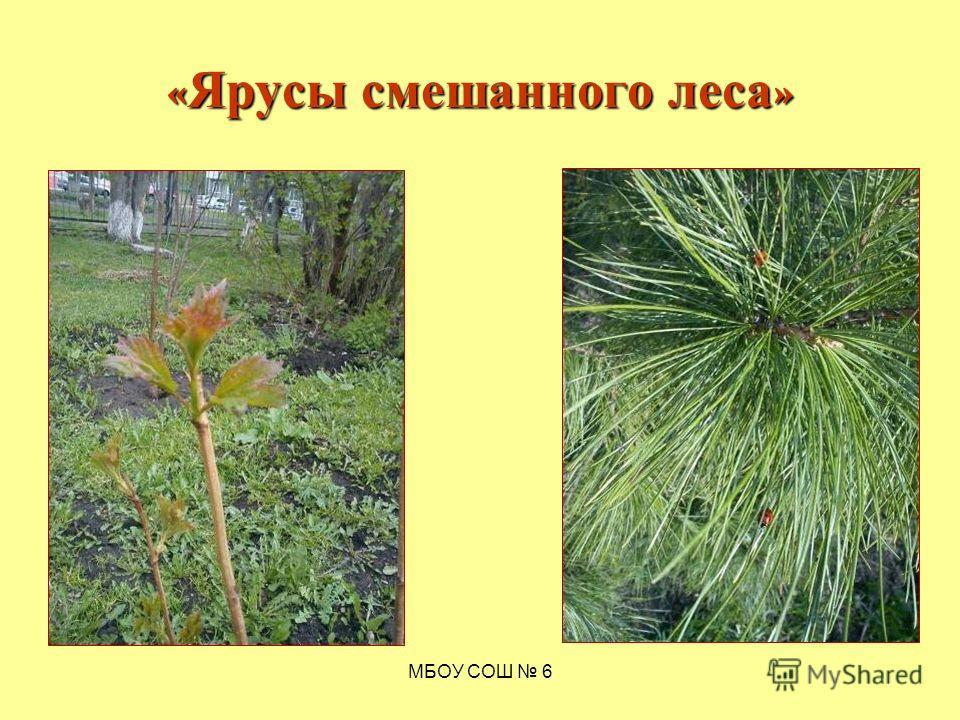 МБОУ СОШ 6 « Ярусы смешанного леса »