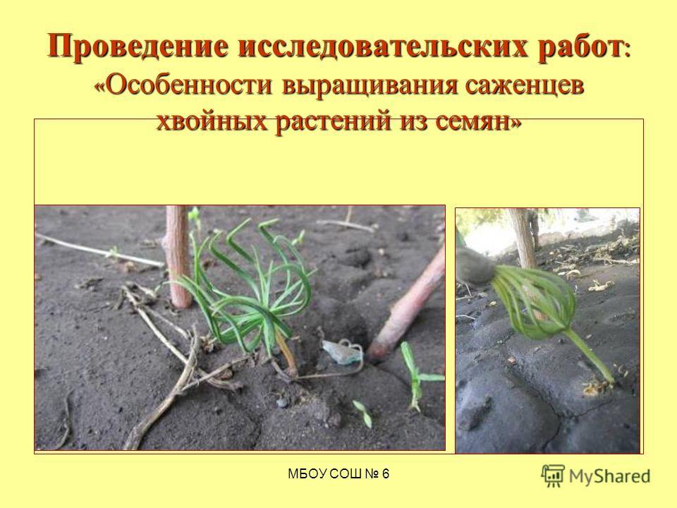 МБОУ СОШ 6 Проведение исследовательских работ : « Особенности выращивания саженцев хвойных растений из семян »