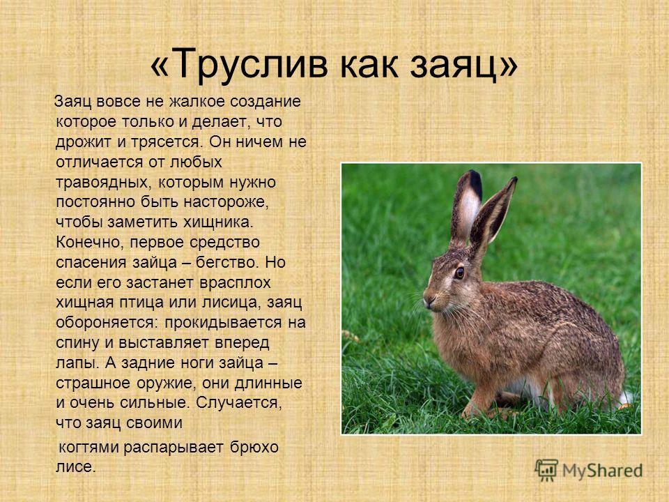 «Труслив как заяц» Заяц вовсе не жалкое создание которое только и делает, что дрожит и трясется. Он ничем не отличается от любых травоядных, которым нужно постоянно быть настороже, чтобы заметить хищника. Конечно, первое средство спасения зайца – бег