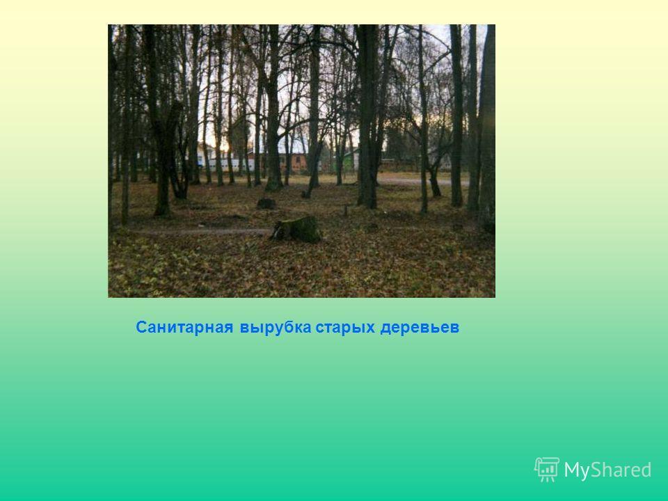 Санитарная вырубка старых деревьев