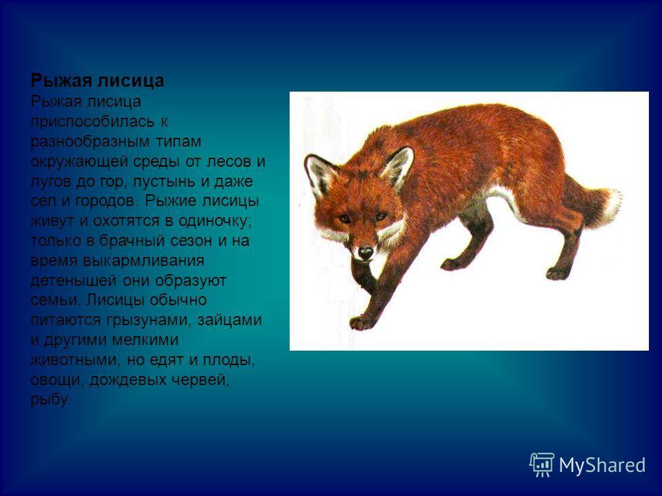 Рыжая лисица Рыжая лисица приспособилась к разнообразным типам окружающей среды от лесов и лугов до гор, пустынь и даже сел и городов. Рыжие лисицы живут и охотятся в одиночку; только в брачный сезон и на время выкармливания детенышей они образуют се