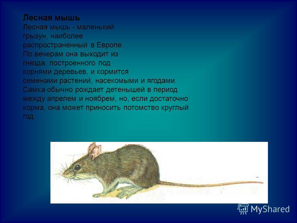 Лесная мышь Лесная мышь - маленький грызун, наиболее распространенный в Европе. По вечерам она выходит из гнезда, построенного под корнями деревьев, и кормится семенами растений, насекомыми и ягодами. Самка обычно рождает детенышей в период между апр