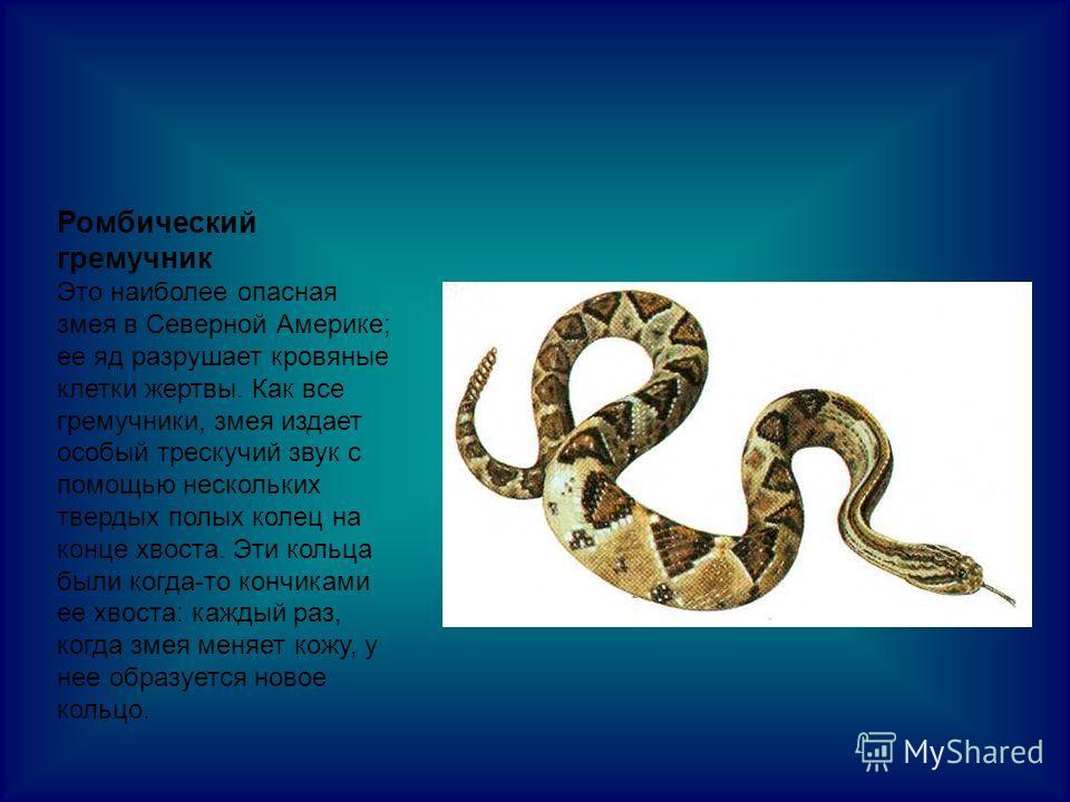 Ромбический гремучник Это наиболее опасная змея в Северной Америке; ее яд разрушает кровяные клетки жертвы. Как все гремучники, змея издает особый трескучий звук с помощью нескольких твердых полых колец на конце хвоста. Эти кольца были когда-то кончи