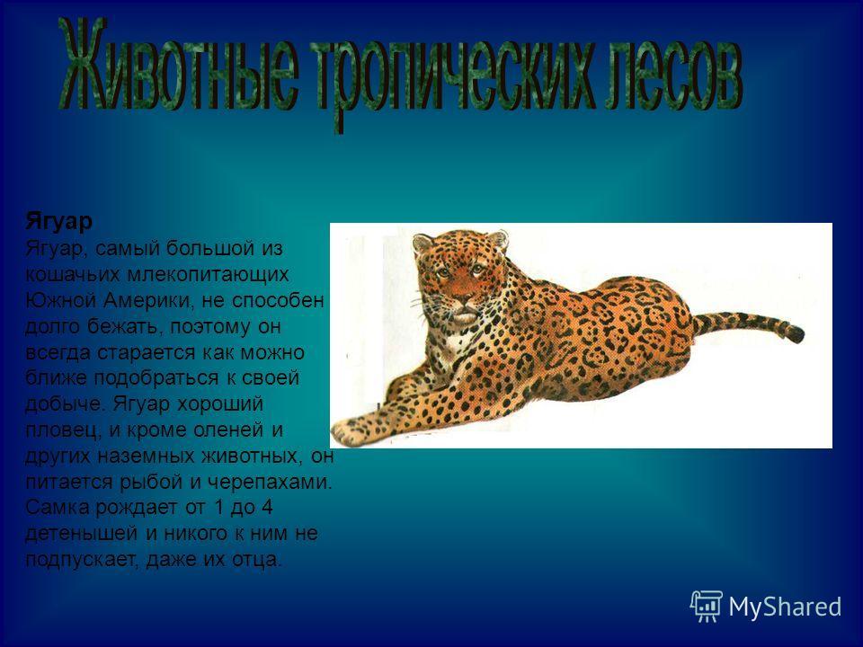 Ягуар Ягуар, самый большой из кошачьих млекопитающих Южной Америки, не способен долго бежать, поэтому он всегда старается как можно ближе подобраться к своей добыче. Ягуар хороший пловец, и кроме оленей и других наземных животных, он питается рыбой и