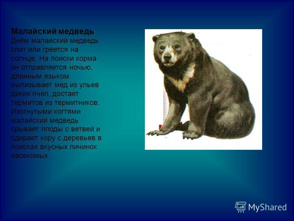 Малайский медведь Днём малайский медведь спит или греется на солнце. На поиски корма он отправляется ночью, длинным языком вылизывает мед из ульев диких пчел, достает термитов из термитников. Изогнутыми когтями малайский медведь срывает плоды с ветве