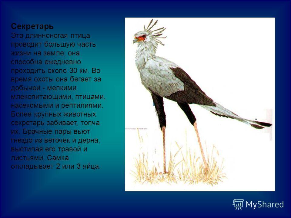 Секретарь Эта длинноногая птица проводит большую часть жизни на земле; она способна ежедневно проходить около 30 км. Во время охоты она бегает за добычей - мелкими млекопитающими, птицами, насекомыми и рептилиями. Более крупных животных секретарь заб