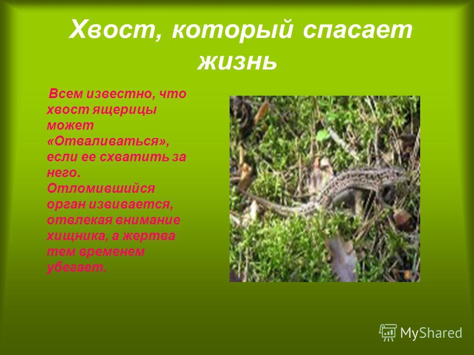 Хвост, который спасает жизнь Всем известно, что хвост ящерицы может «Отваливаться», если ее схватить за него. Отломившийся орган извивается, отвлекая внимание хищника, а жертва тем временем убегает.